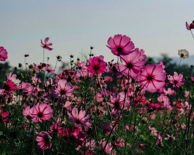 Close-up of pink cosmos flowers on field against sky