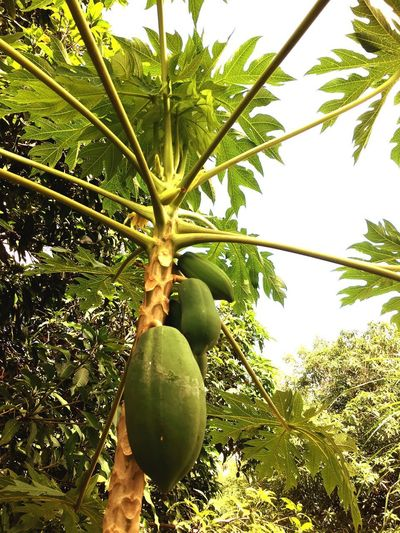 Papaya and sky Thai Salad With Raw Papaya Fruite Tree Plant Fruit Growth Healthy Eating Green Color Food Food And Drink Low Angle View Wellbeing Freshness Nature Beauty In Nature No People Day Fruit Tree Outdoors Sky Sunlight Tranquility