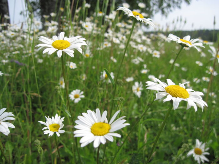 Beauty In Nature Close-up Daisy Flower Flower Head Focus On Foreground Freshness Nature Yellow