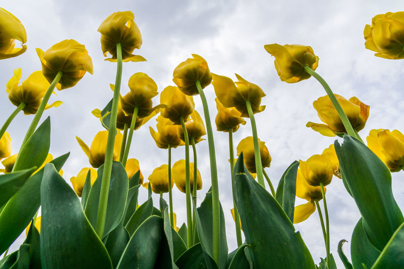 Green Yellow Flower Blue Sky From Below Garden Green Leaves Green Leaves And Flowers Point Of View Spring Spring Flowers Spring Time Springtime To The Top Tulip Tulips In The Springtime Up Into The Sky Yellow