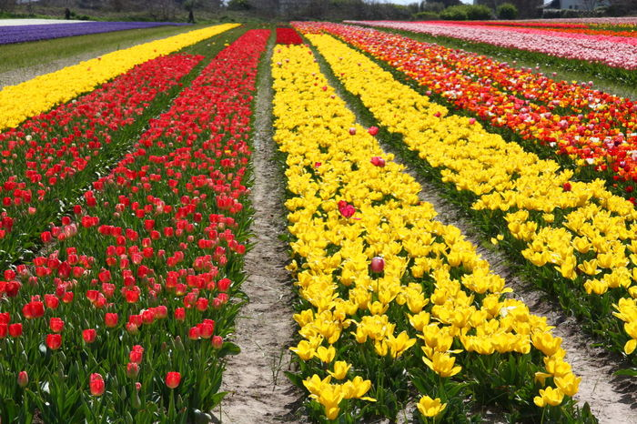 Agriculture Beauty In Nature Bretagne Close-up Day Fleurs Flower Flower Head Flowerbed Fragility France Freshness Growth Jaune Multi Colored Nature No People Outdoors Plant Pointe De La Torche Rouge Tulipes. Yellow