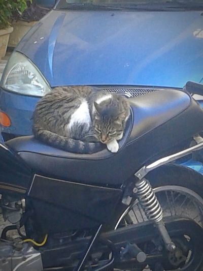 Sleeping Cat on a Motorcycle. Cat Cats & Dogs Cute Cute Cats Animal Cats Animal Photography Animals Animals In The Wild Animal Themes Cat Lovers Sleeping