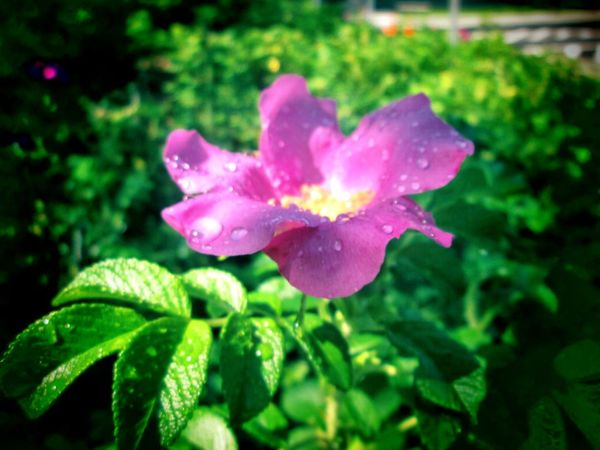 Flower Plant Nature Petal Drop Leaf Green Color Fragility Close-up Beauty In Nature No People Outdoors Pink Color Growth Flower Head Day Freshness Water EyeEmNewHere