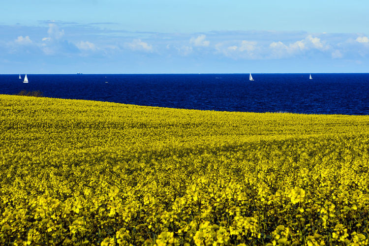 Ocean View Sailing Ship Agriculture Beauty In Nature Day Field Flower Growth Horizon Horizon Over Water Land Landscape Nature No People Outdoors Plant Rural Scene Scenics - Nature Sky Tranquil Scene Tranquility Water Yellow EyeEmNewHere My Best Photo