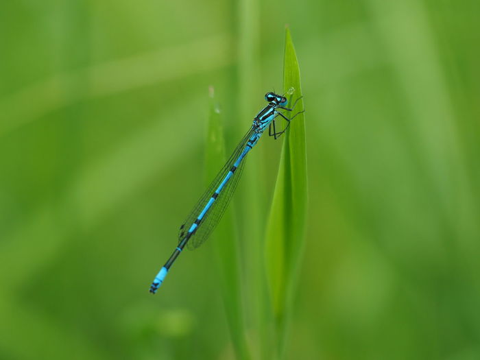 Blade Of Grass Macro Photography Pont Animal Animal Themes Animal Wildlife Animal Wing Animals In The Wild Blue Dragonfly Close-up Coenagrionidae Damselfly Focus On Foreground Green Background Green Color Insect Libelle🌾 Natur Nature No People One Animal Outdoors Selective Focus Side View Waters