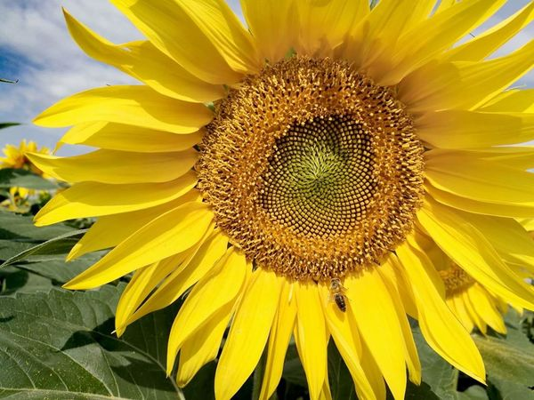 Sunflower Beauty In Nature Summer EyeEm Nature Lover Yellowmagic