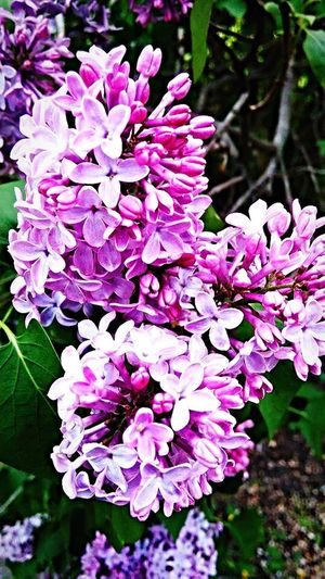 Lilac Flower Nature Beauty In Nature Fragility Petal Freshness Growth Day Outdoors No People Blossom Pink Color Flower Head Blooming Plant Close-up Lilac Springtime