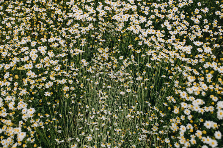 High angle view of white flowering plants on field