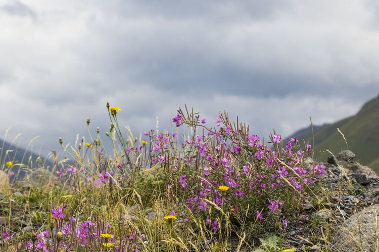 Close-up of purple flowering plants on field against cloudy sky