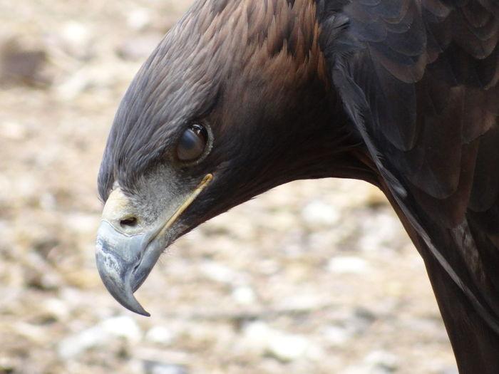 Close-up portrait of golden eagle