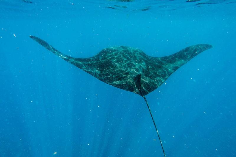 Sting Ray Swimming In Sea