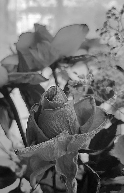 Last days of the rose... Rose♥ Petals🌸 Ending Light