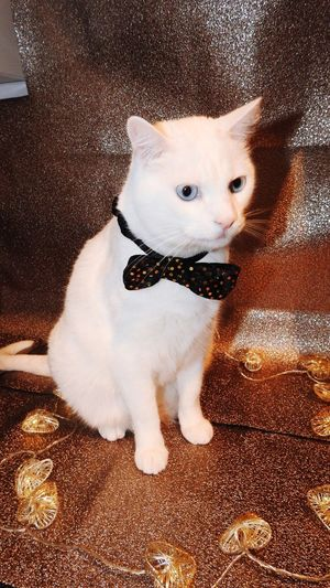 White Cat with bow tie Cat Meow White Cat EyeEm Selects Pets Domestic Animals Dog Domestic Cat Animal Themes One Animal Mammal Animal