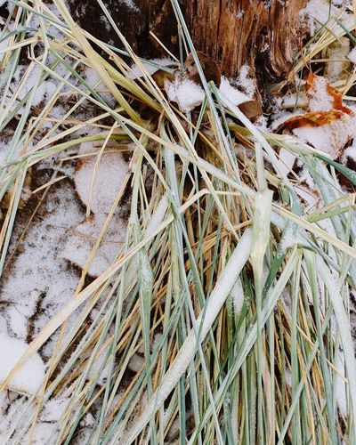 Close-up of dried plant on snow covered land