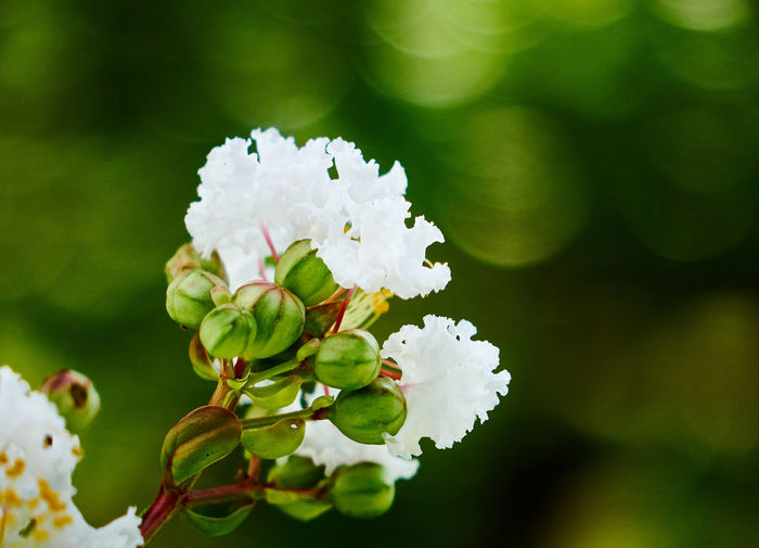 Animal Themes Beauty In Nature Blooming Close-up Day Flower Flower Head Focus On Foreground Fragility Freshness Green Color Growth Lantana Camara Nature No People Outdoors Petal Plant White Color