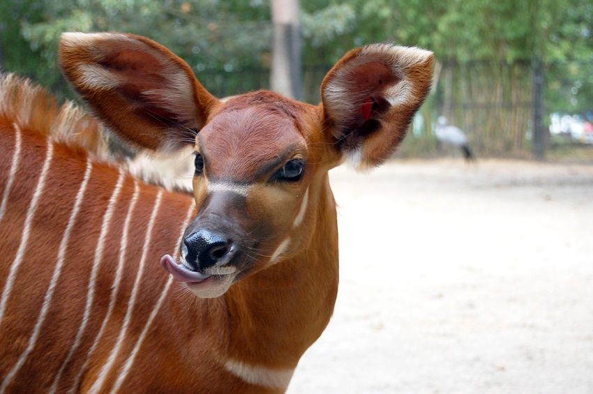 Silly bongo baby African Safari Animals Animals Posing Big Ears Bongo Silly Animals Striped Tounge Out