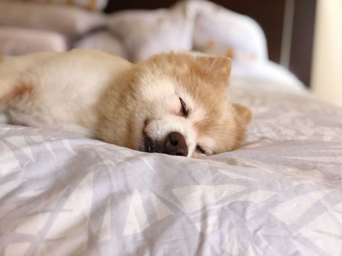 Sleepy Saturday 🦁 Pet Portraits German Spitz Kimba Dogs Of EyeEm Bed Furniture One Animal Mammal Animal Themes Relaxation Animal Sleeping Pets Domestic Resting Eyes Closed  Indoors  Domestic Animals Home Interior Linen Bedroom Close-up