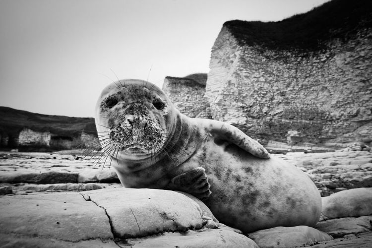 Portrait of aquatic mammal lying on rock