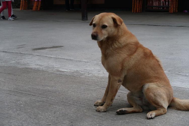 Dog Domestic