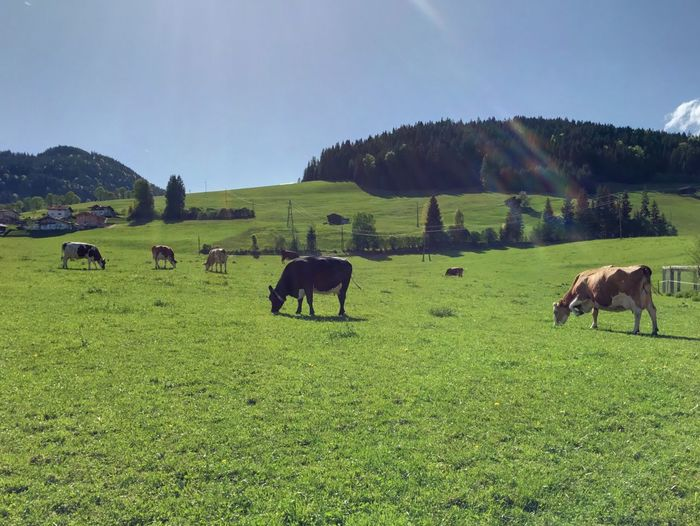 Tirol  Cows