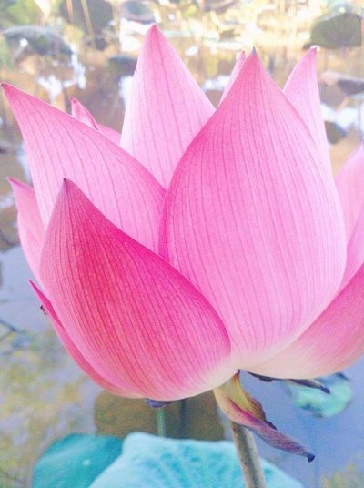 Pink Color Beauty In Nature Nature Lotus Lotus Flower No People Nature Multi Colored Close-up Growth Plant Day Outdoors Tree First Eyeem Photo Udonthani Udonthani Thailand Thailand
