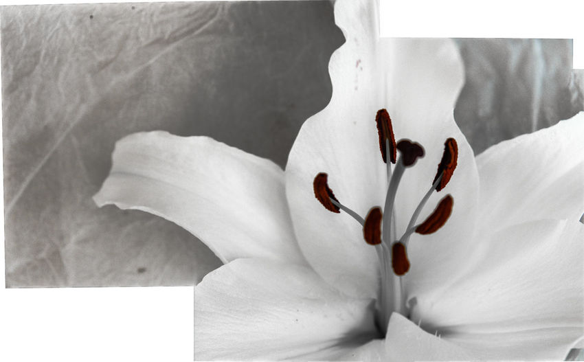 Lily flower Lily Flower Close Up Stitched Images Flowering Plant Flower Close-up Pollen Inflorescence White Color Flower Head Petal Freshness Plant Beauty In Nature Fragility Vulnerability  No People Stamen Nature Growth White Botany