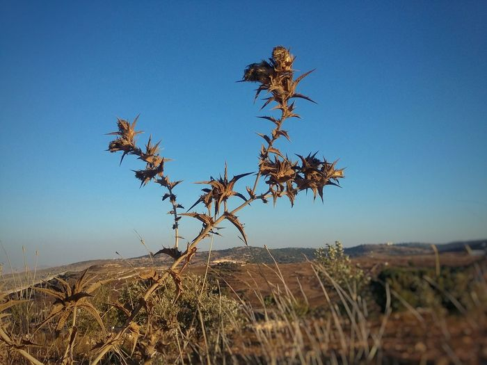 Plants on field against clear blue sky
