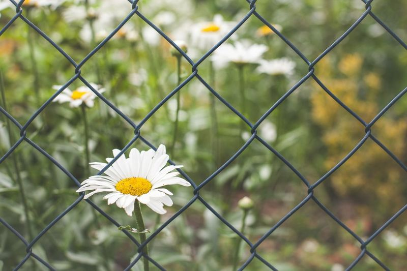 Close-up of white flower blooming on chainlink fence