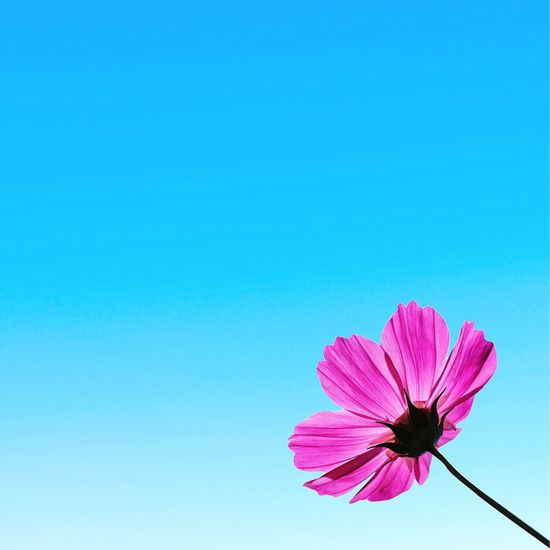 Photo EyeEm Beauty Blue Langit Photography Bunga Flowers_collection Nature Collection Nature Lovers Outside Nature Cosmos Flowers Pink Sky Blue Sky Skies Flora Floral Plant Garden Clear Skies Pink Cosmos Cosmos Flowers