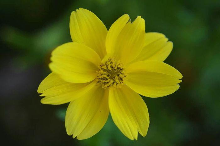Flowers Flower Yellow Flower Nikon NikonD5200 Photography Italy My_Photography Fotografia Fiore giallo