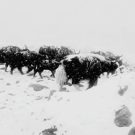 Snowfall 🗻🗻🗻 Snowfall Yak Yaks Leh Ladakh Ladakhdiaries Leh Ladakh.. Ladakh Lovers