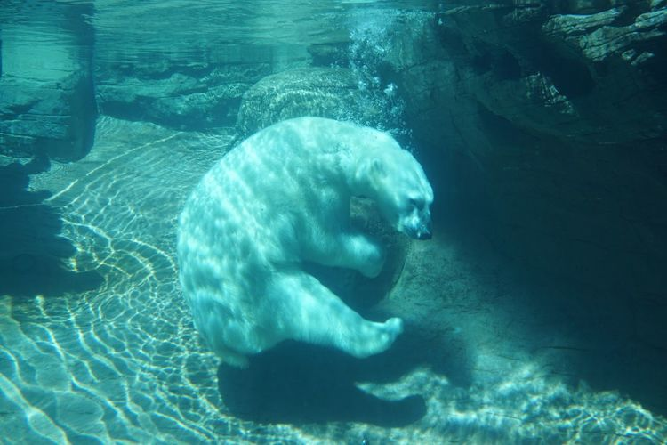 No People Animal Themes Underwater Water Swimming One Animal Nature Close-up Zoo Nature Polar Bear San Diego No Filter