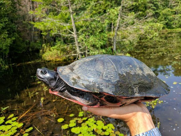 Nature Animal Wildlife One Animal Outdoors Water Plant Animals In The Wild Day Reptile Beauty In Nature Animal Themes Close-up Human Body Part Tree People Reptile New Jersey Tortoise Tortoise Shell Redbelly Turtle Pond Turtle Turtle Beauty In Nature Painted Turtle Nature