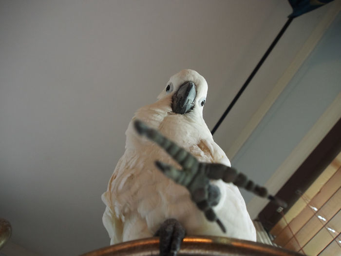 Clara the cockatoo Cockatoo Animal Themes Bird Close-up Cockatoo Day Domestic Animals Exotic Pets Indoors  Low Angle View No People One Animal Parrot Perching Reaching Out Talons White Color
