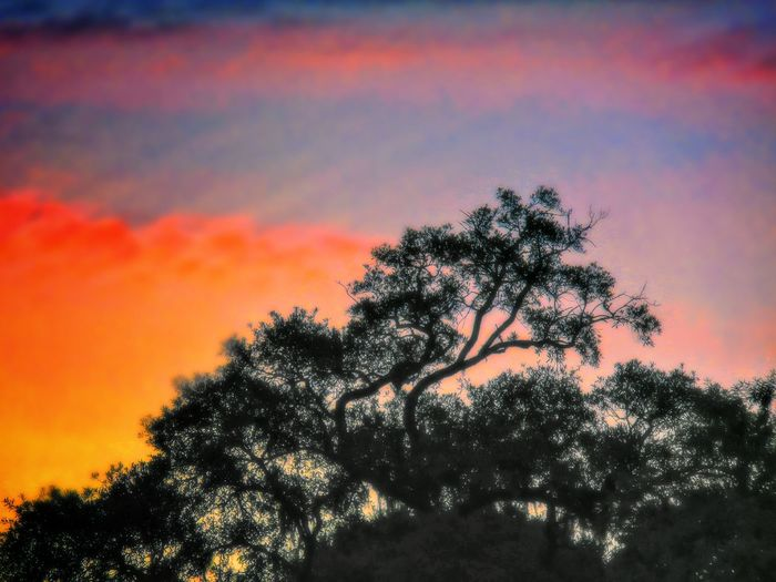 Looking up. Tree Silhouette Sunrise Sky