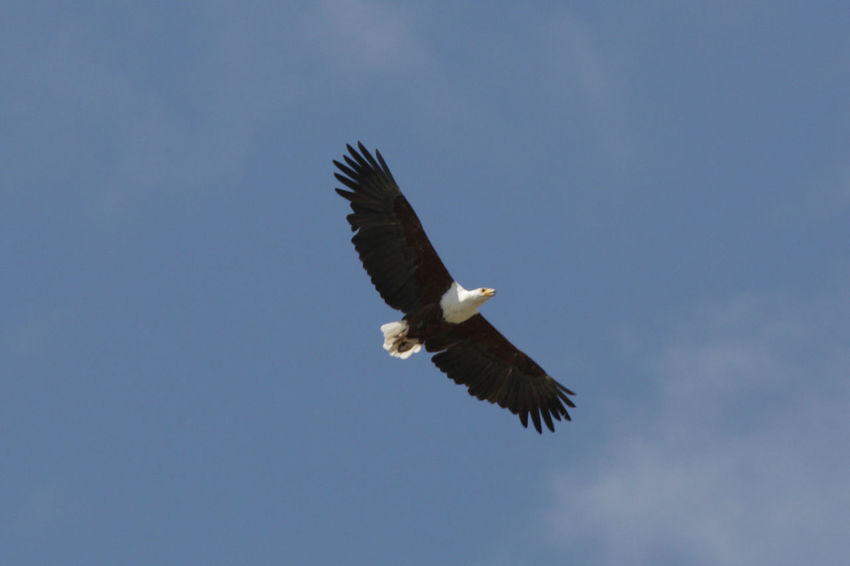 A soaring African Fish Eagle in East Africa. African Fish Eagle In Flight Birds Of Prey Haliaeetus Vocifer Luxury Travel Tanzania Africa African Fish Eagle Bird Bird Of Prey Blue Eagle - Bird East Africa Fish Eagle Flying Low Angle View Luxury Mid-air Nature Predator Spread Wings Travel Destinations