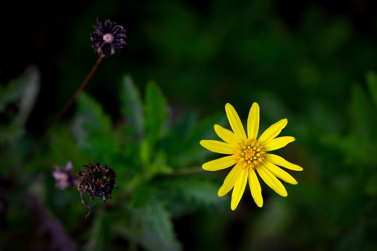 Flowering Plant Flower Plant Freshness Growth Beauty In Nature Vulnerability  Fragility Flower Head Petal Inflorescence Yellow Close-up Nature Focus On Foreground No People Day Selective Focus Outdoors Green Color Pollen Purple