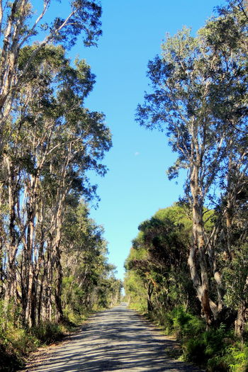 Dusty dirt road lined with gum trees Australia Beauty In Nature Blue Diminishing Perspective Dirt Road Empty Empty Road Footpath Growth Gum Trees Long Moon Narrow Nature Pathway Road T Taking Photos The Way Forward Tranquil Scene Tranquility Tree Trees Vanishing Point Walkway