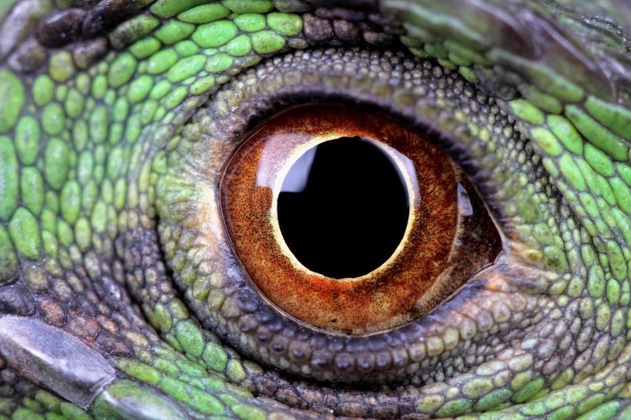 Macro Shot Of Iguana Eye