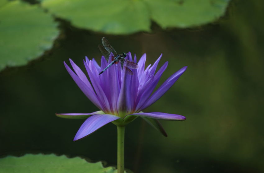 Waterlilly Flower Purple Waterlilypond Dragonfly Purple Flower Nature Beauty In Nature Close-up Pond Single Flower Plant Fine Art Water Lily Freshness in USA