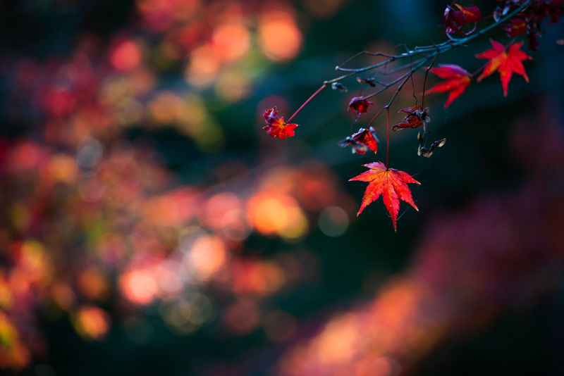 Red maple leaves shining in front of smooth background. Nature Artistic Photo Autumn🍁🍁🍁 Autumn Leaves 🍁 Leaf Red Maple Leaves Selective Focus Smooth Background Light And Shadow Shining Life Beauty In Nature