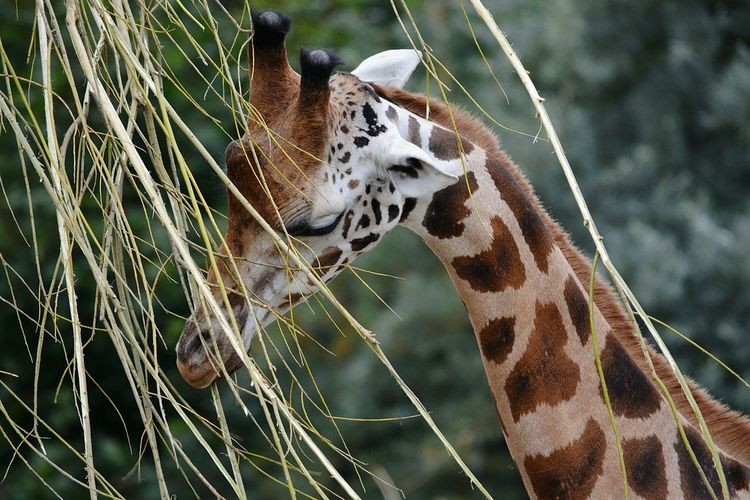 Baby giraffe next to plant