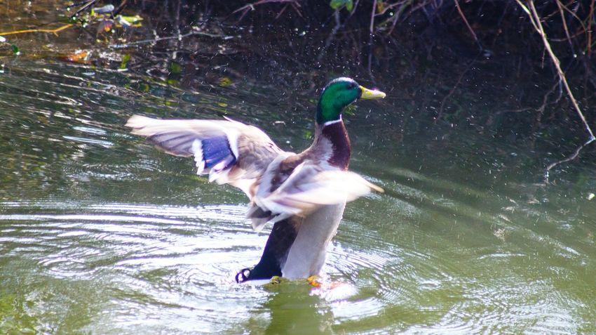 Lake View Lake Pond Life Ducks😄 Ducks At The Lake Duck Pond Ducks Wings Flap