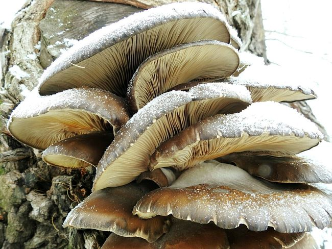 Mushrooms 🍄🍄 On Wood Tree Day Urban Nature Cold Temperature Snow❄⛄ Colors Of Sankt-Peterburg Sankt-Petersburg Russia