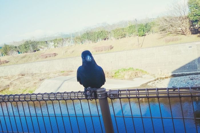 Raven Bird Black River Looking At Camera Railing Cute Animals Showcase: February XPERIA Xperia Z4 How Do We Build The World? Nature's Diversities Ultimate Japan Streetphotography Japan Fine Art Photography
