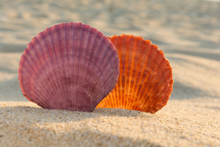Sea shells on a sandy beach Freshness Nature Romantic Seashore Summertime Tranquility Backgrounds Beach Beauty In Nature Close Up Island Orange Color Purple Resort Sand Scallop Sea Seashell Seaside Shell Spa Summer Sunset Tranquil Scene Tropical