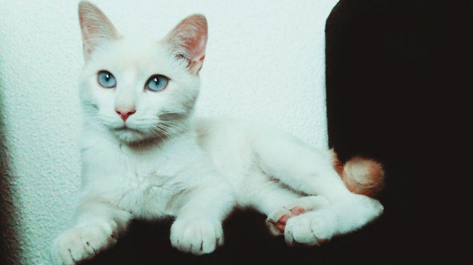 Kitten Babycat ❤ White Nano BlueEyes Mycat
