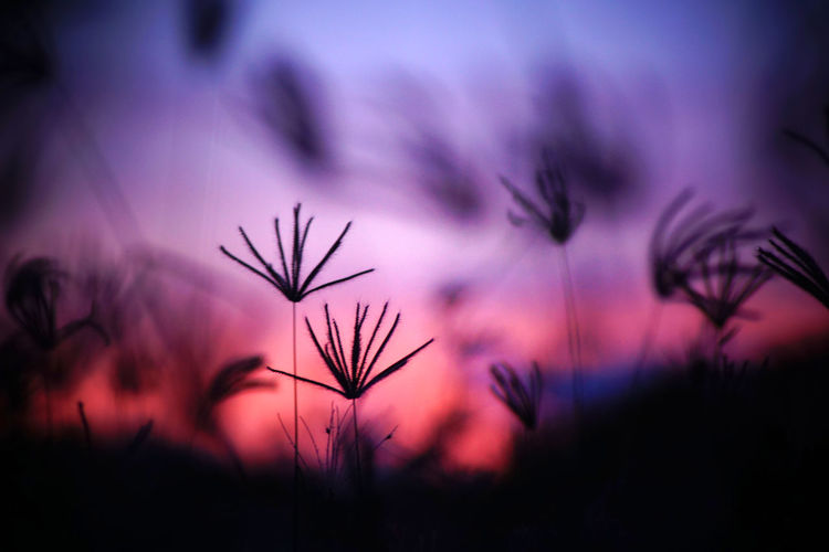 Close-up of silhouette flowering plants against sky during sunset