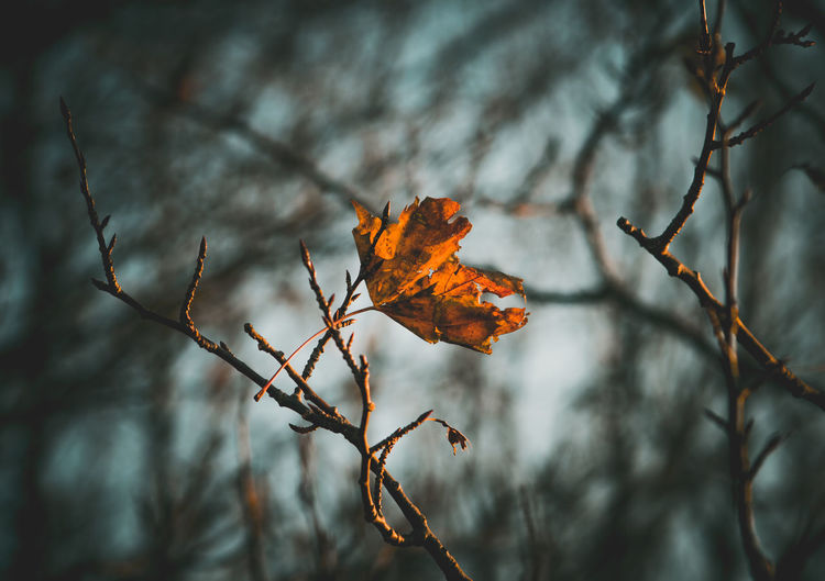 Autumn end. Autumn Tree Plant Nature No People Day Outdoors Beauty In Nature Tranquility Leaf Branch Day Time Golden Hour Nature View Ventė Cape Maple Leaf Plant Part Dry Focus On Foreground Orange Color Close-up Dead Plant Leaves Bare Tree Dried
