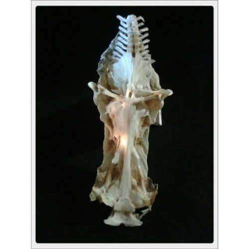 El Cristo del Bagre. Detalle del interior del cráneo del bagre de mar